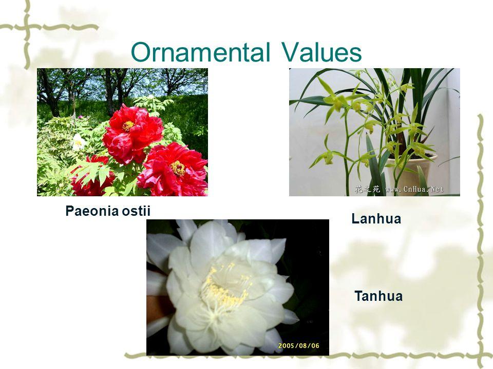 Ornamental Values Paeonia ostii Lanhua Tanhua
