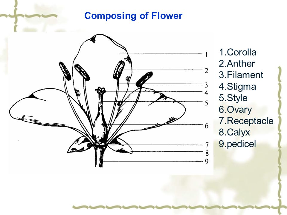 Composing of Flower 1.Corolla. 2.Anther. 3.Filament. 4.Stigma. 5.Style. 6.Ovary. 7.Receptacle.