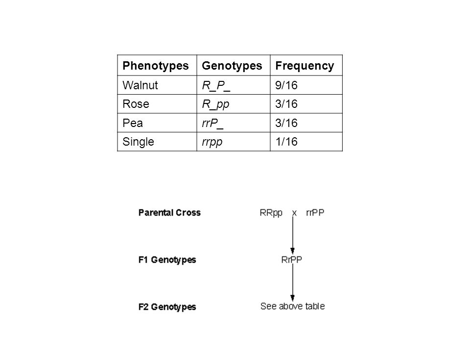 Phenotypes Genotypes Frequency Walnut R_P_ 9/16 Rose R_pp 3/16 Pea rrP_ Single rrpp 1/16