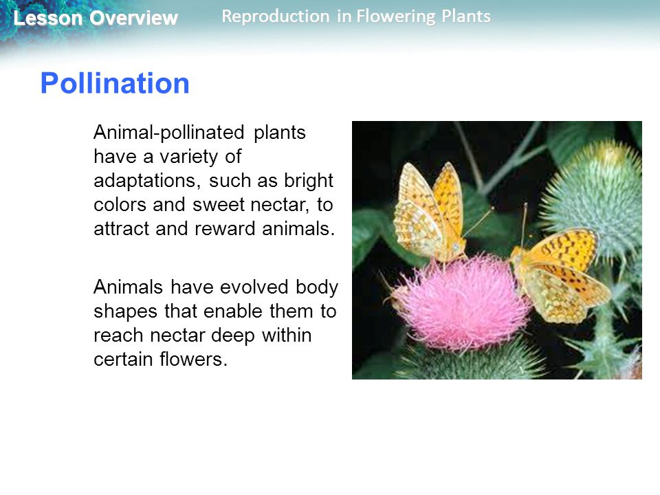 Pollination Animal-pollinated plants have a variety of adaptations, such as bright colors and sweet nectar, to attract and reward animals.