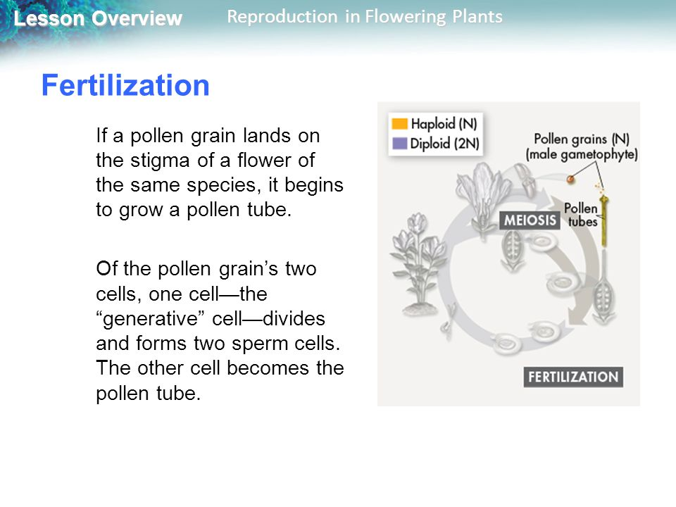 Fertilization If a pollen grain lands on the stigma of a flower of the same species, it begins to grow a pollen tube.