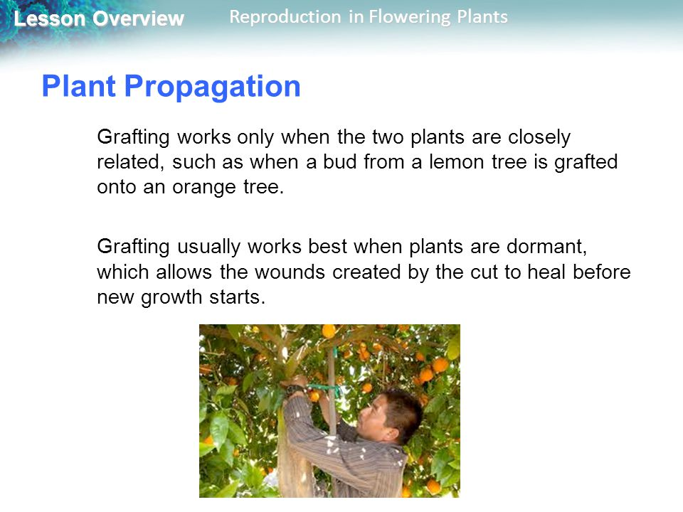 Plant Propagation Grafting works only when the two plants are closely related, such as when a bud from a lemon tree is grafted onto an orange tree.