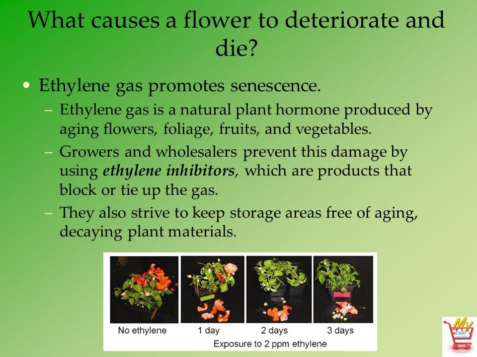 What causes a flower to deteriorate and die