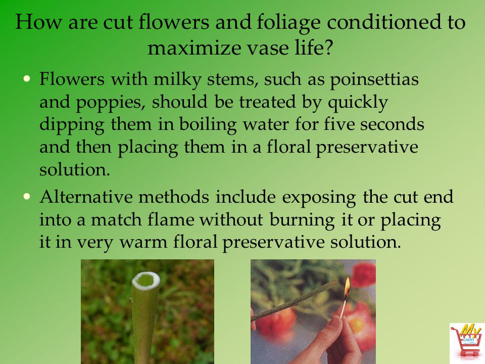 How are cut flowers and foliage conditioned to maximize vase life