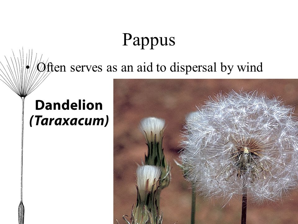 Pappus Often serves as an aid to dispersal by wind
