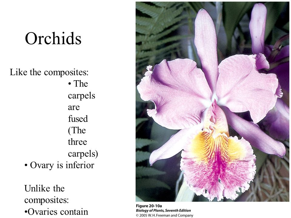 Orchids Like the composites: The carpels are fused (The three carpels)