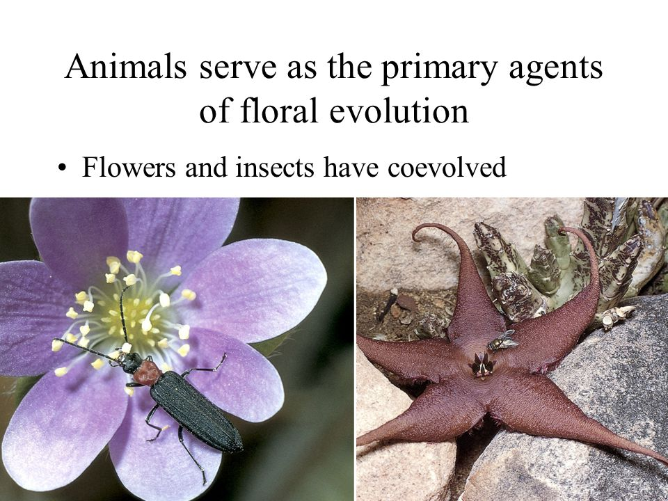 Animals serve as the primary agents of floral evolution