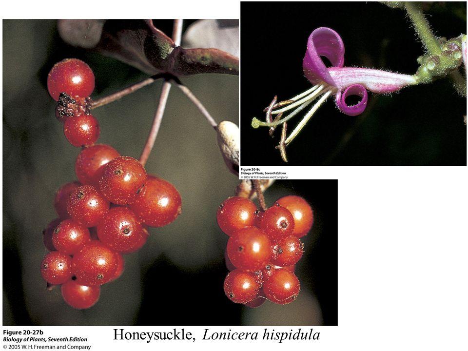 Honeysuckle, Lonicera hispidula