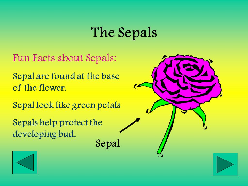The Sepals Fun Facts about Sepals: Sepal