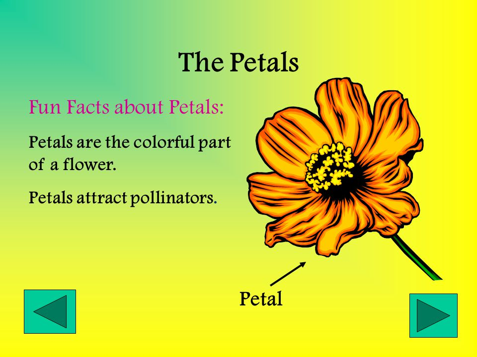 The Petals Fun Facts about Petals: Petal