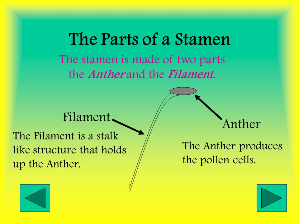 The stamen is made of two parts the Anther and the Filament.