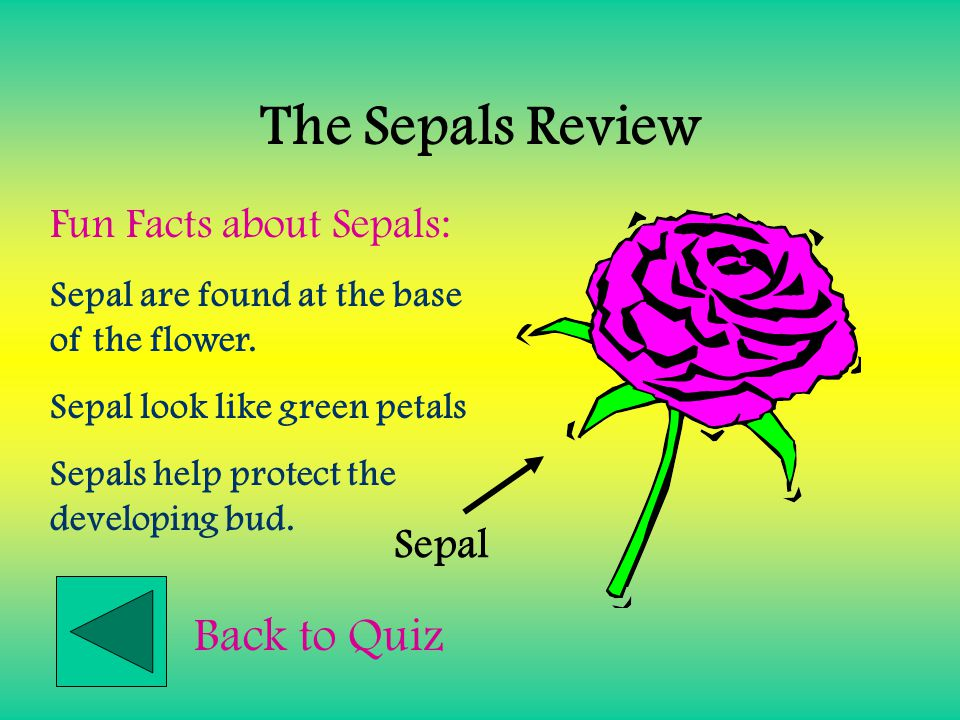 The Sepals Review Back to Quiz Fun Facts about Sepals: Sepal