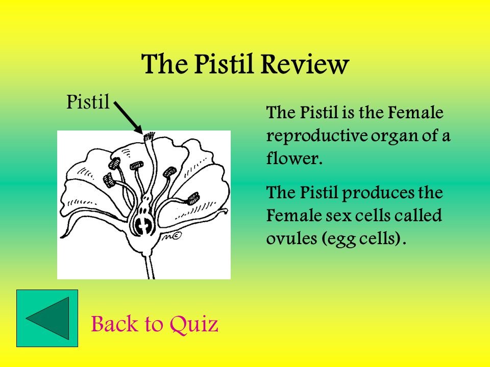 The Pistil Review Back to Quiz Pistil