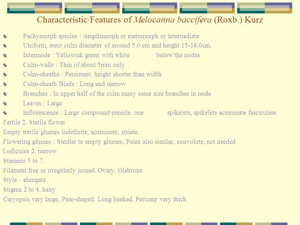 Characteristic/Features of Melocanna baccifera (Roxb.) Kurz