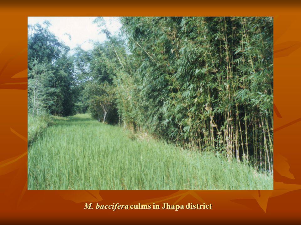 M. baccifera culms in Jhapa district