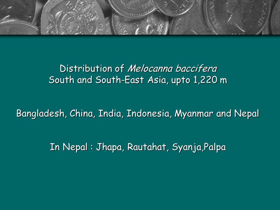 Distribution of Melocanna baccifera South and South-East Asia, upto 1,220 m Bangladesh, China, India, Indonesia, Myanmar and Nepal In Nepal : Jhapa, Rautahat, Syanja,Palpa