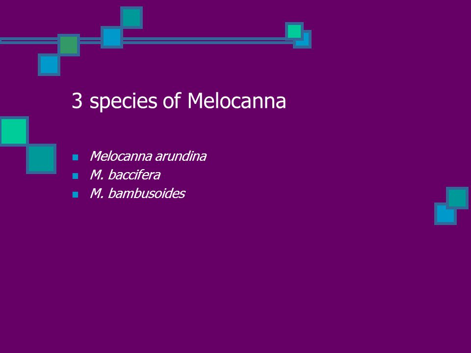 3 species of Melocanna Melocanna arundina M. baccifera M. bambusoides