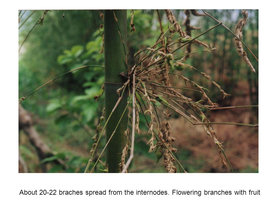 About 20-22 braches spread from the internodes