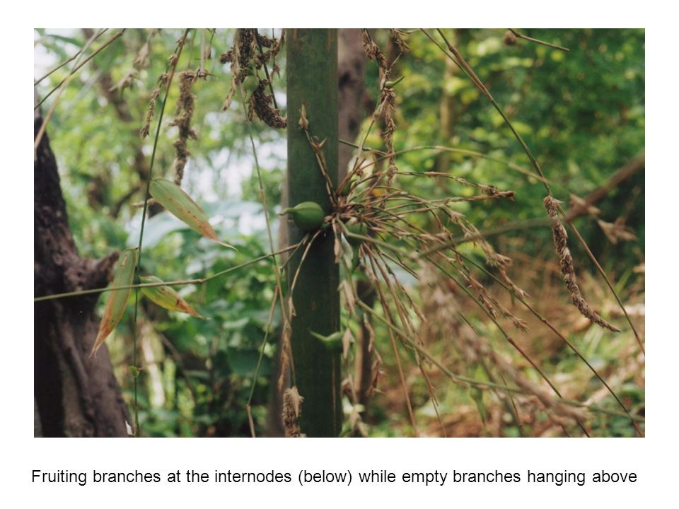 Fruiting branches at the internodes (below) while empty branches hanging above