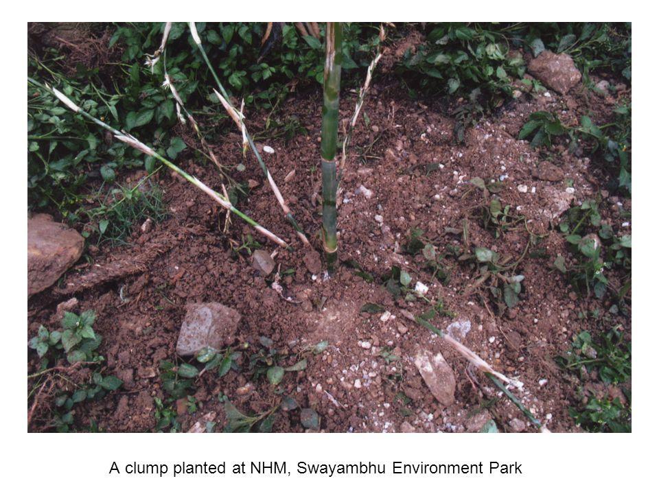 A clump planted at NHM, Swayambhu Environment Park