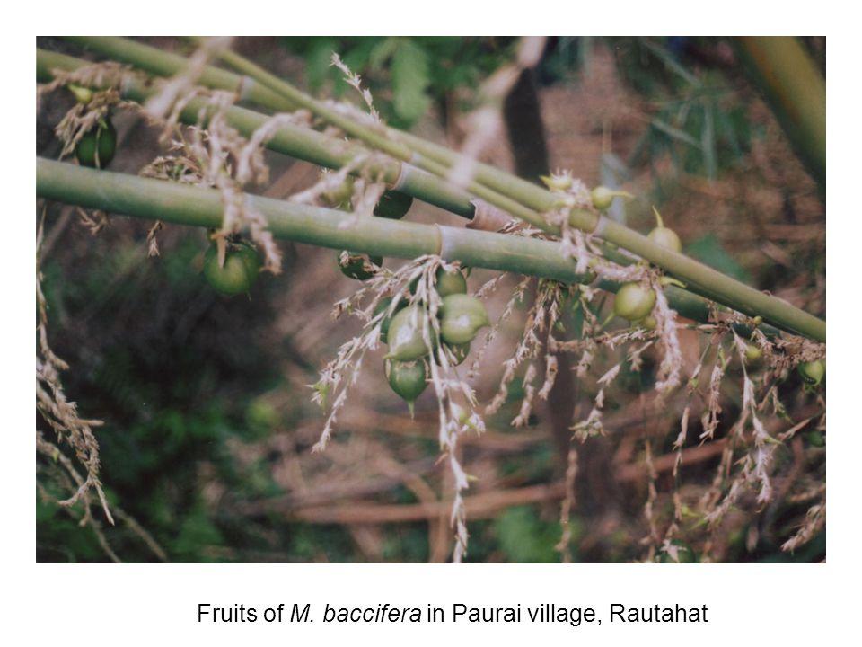 Fruits of M. baccifera in Paurai village, Rautahat