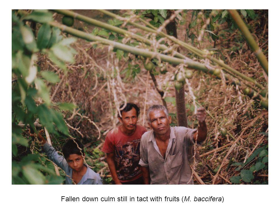 Fallen down culm still in tact with fruits (M. baccifera)