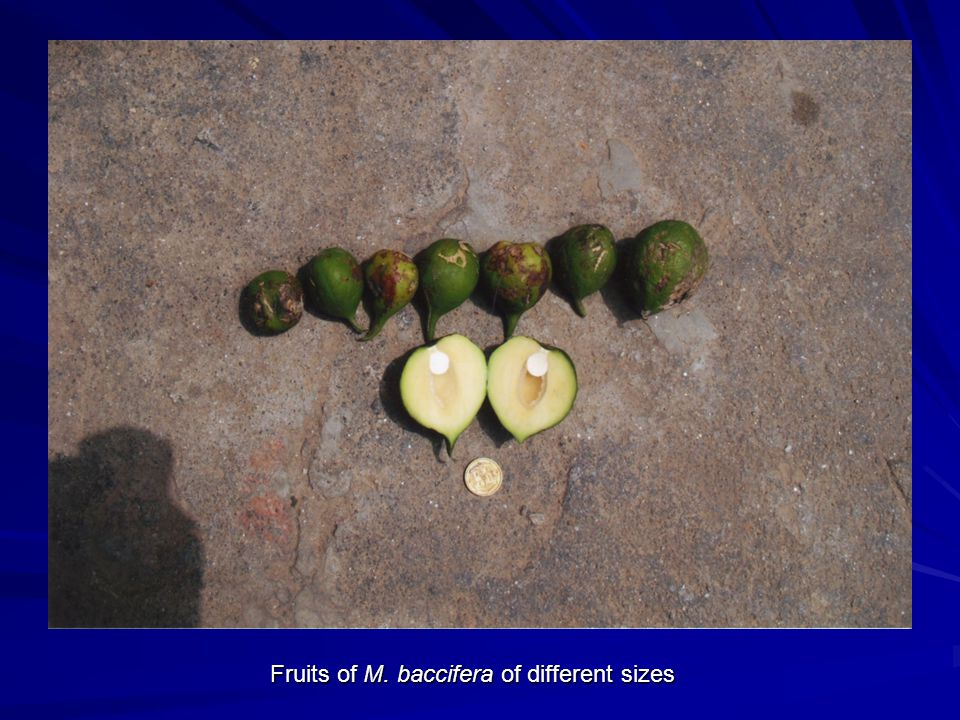 Fruits of M. baccifera of different sizes