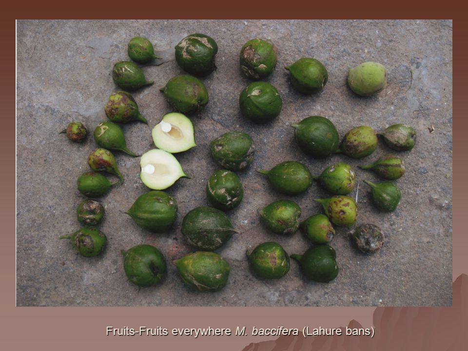 Fruits-Fruits everywhere M. baccifera (Lahure bans)
