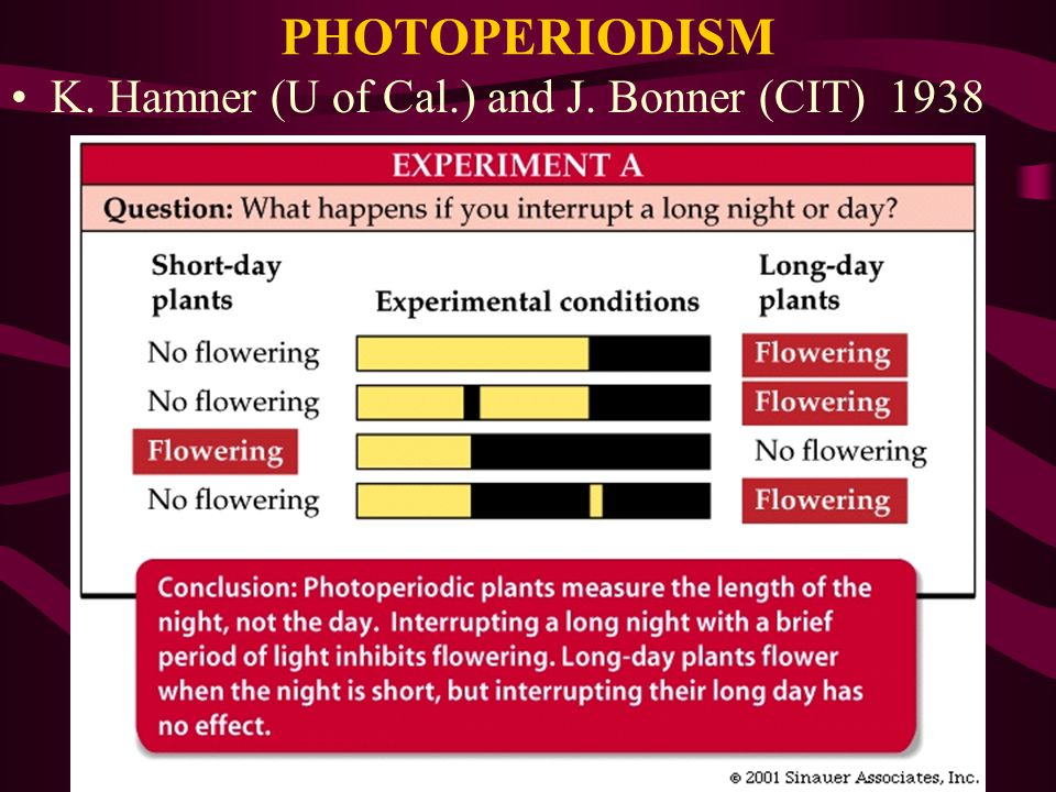 PHOTOPERIODISM K. Hamner (U of Cal.) and J. Bonner (CIT) 1938