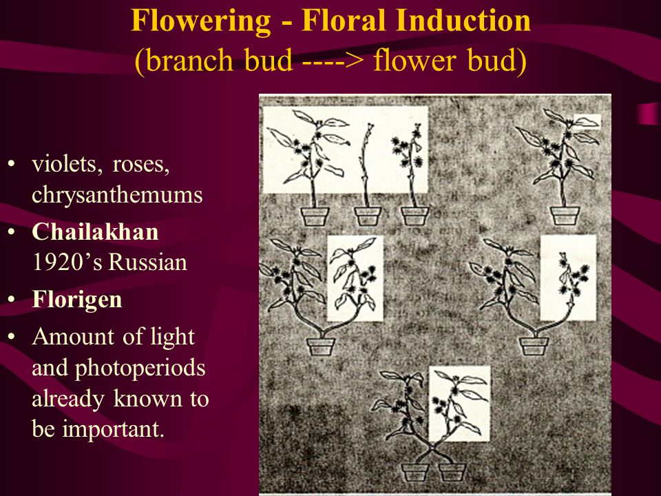 Flowering - Floral Induction (branch bud ----> flower bud)