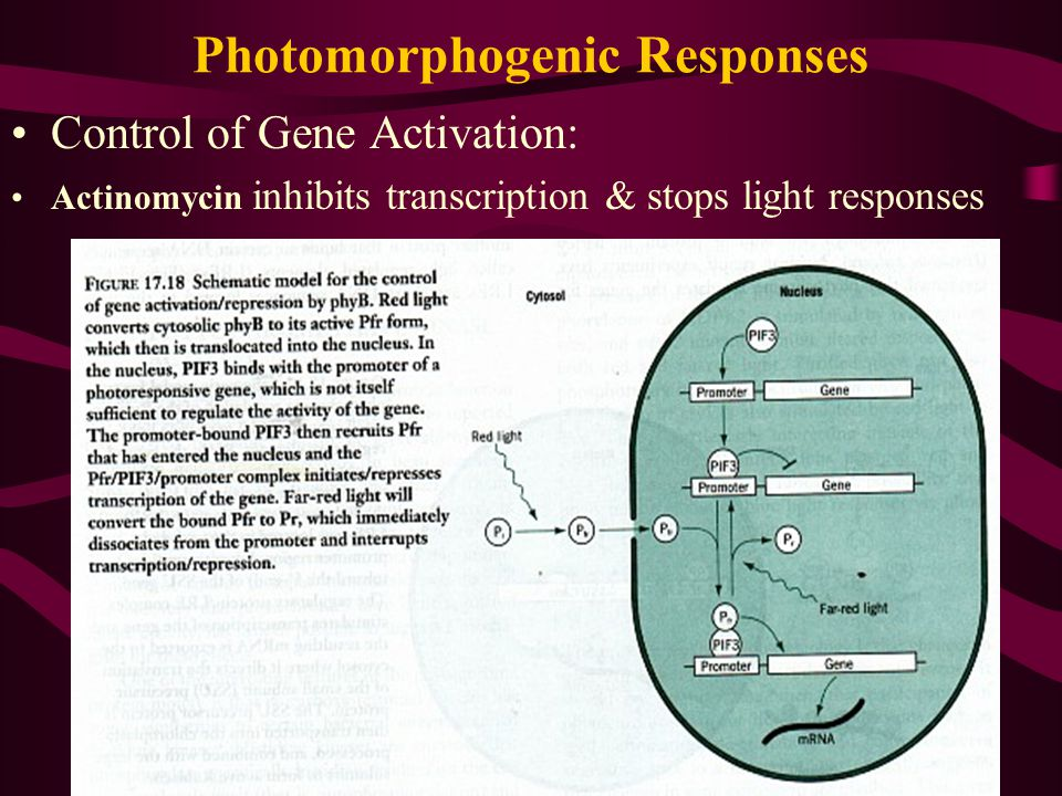 Photomorphogenic Responses