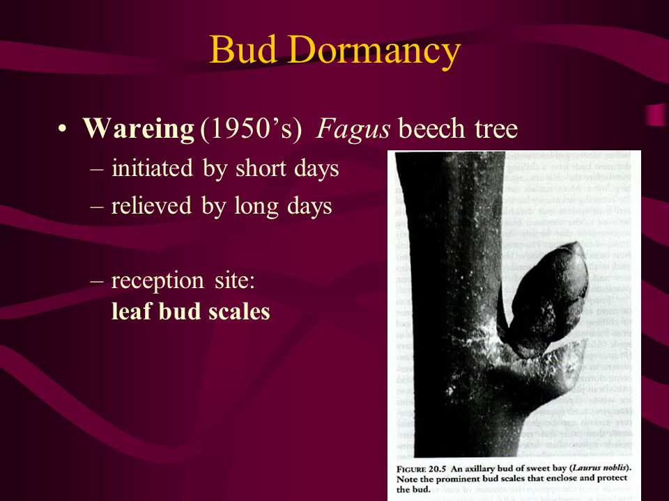 Bud Dormancy Wareing (1950's) Fagus beech tree initiated by short days