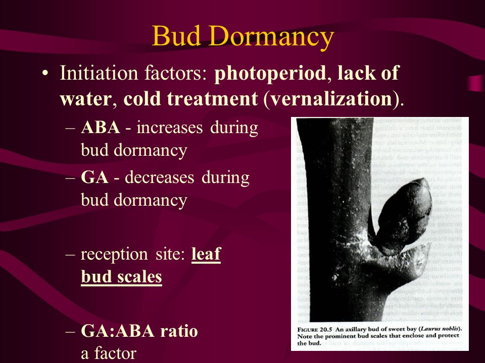 Bud Dormancy Initiation factors: photoperiod, lack of water, cold treatment (vernalization). ABA - increases during bud dormancy.