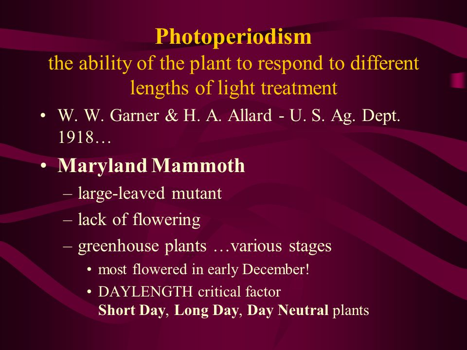 Photoperiodism the ability of the plant to respond to different lengths of light treatment