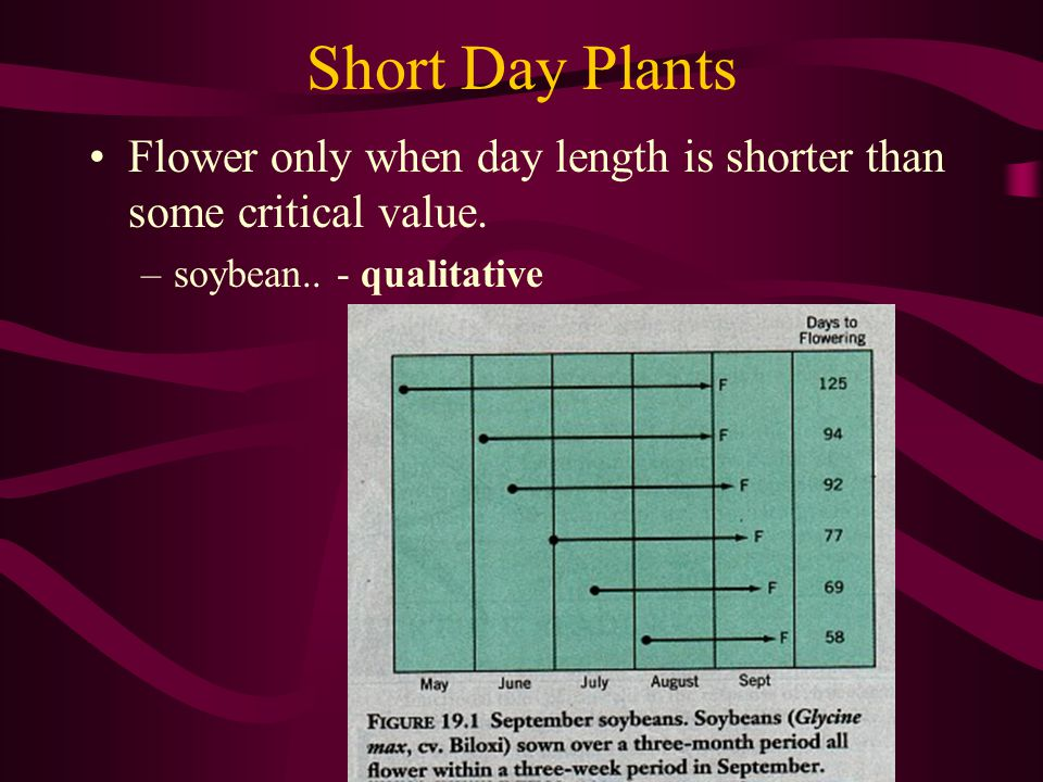 Short Day Plants Flower only when day length is shorter than some critical value.