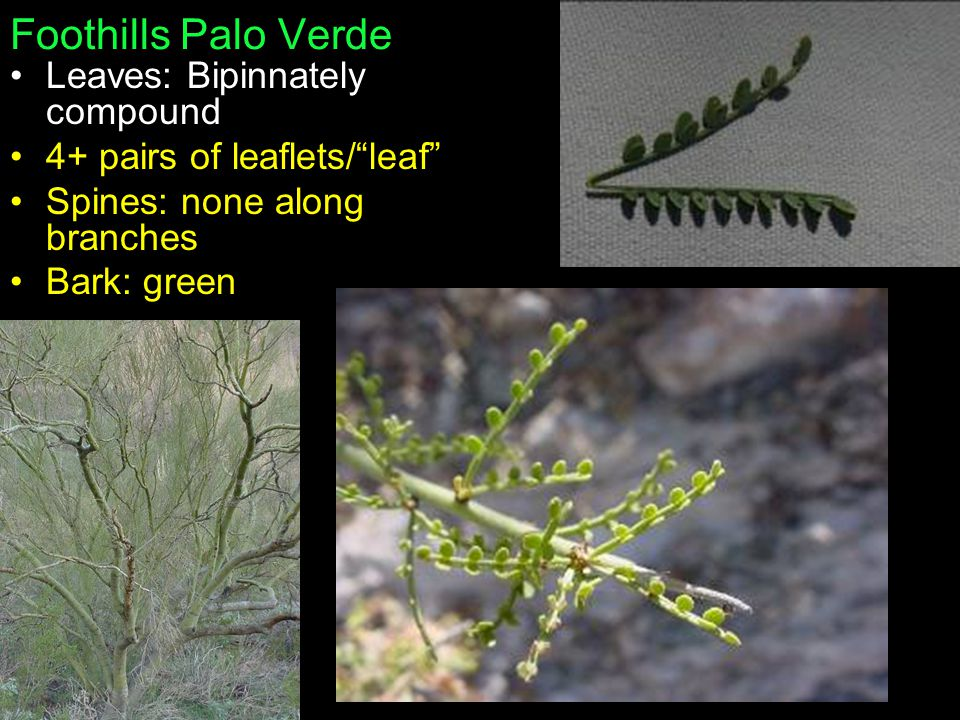 Foothills Palo Verde Leaves: Bipinnately compound