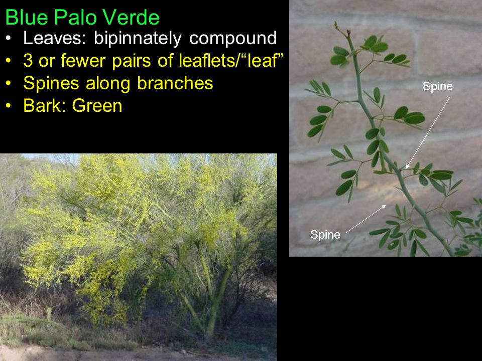 Blue Palo Verde Leaves: bipinnately compound