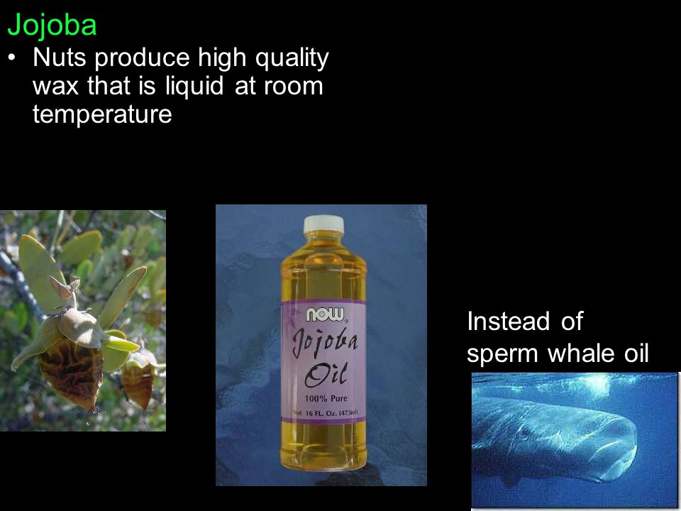 Jojoba Nuts produce high quality wax that is liquid at room temperature Instead of sperm whale oil