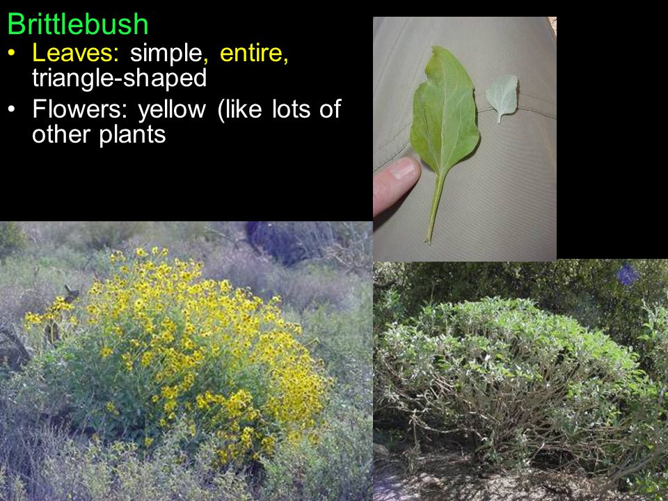 Brittlebush Leaves: simple, entire, triangle-shaped