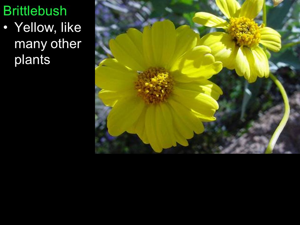 Brittlebush Yellow, like many other plants