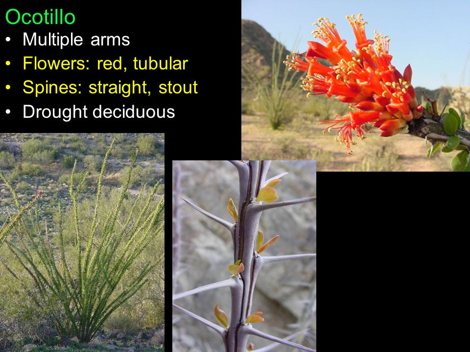 Ocotillo Multiple arms Flowers: red, tubular Spines: straight, stout