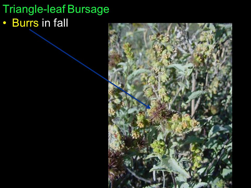 Triangle-leaf Bursage