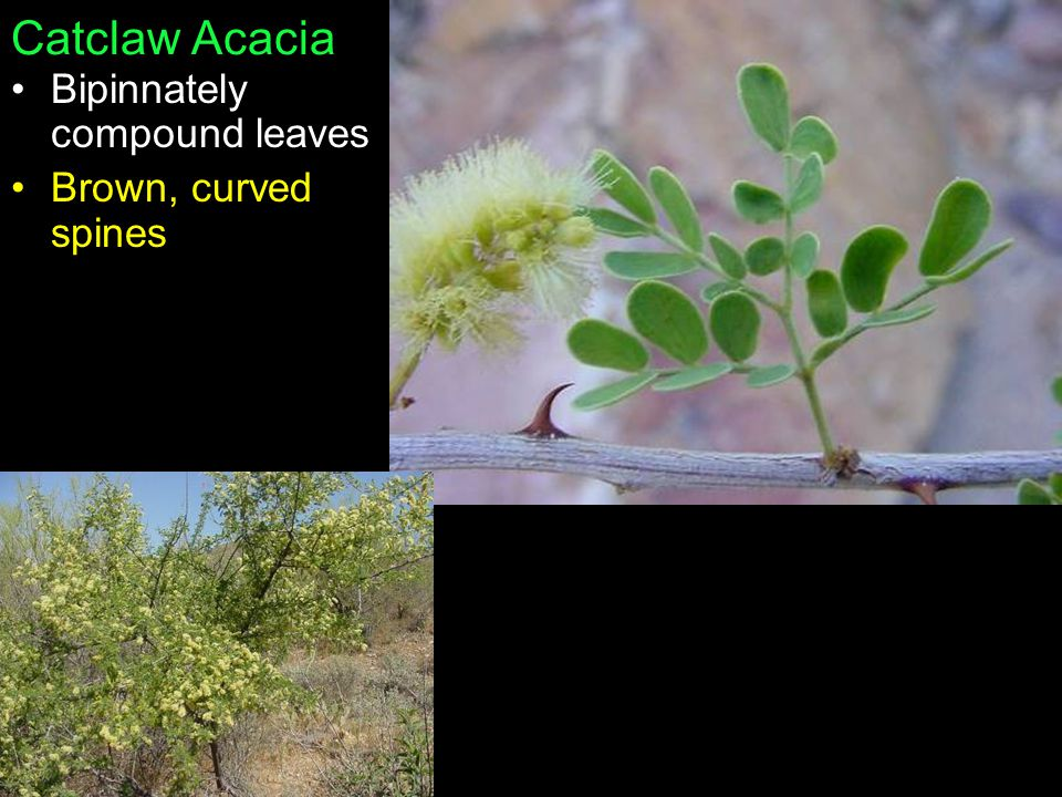 Catclaw Acacia Bipinnately compound leaves Brown, curved spines