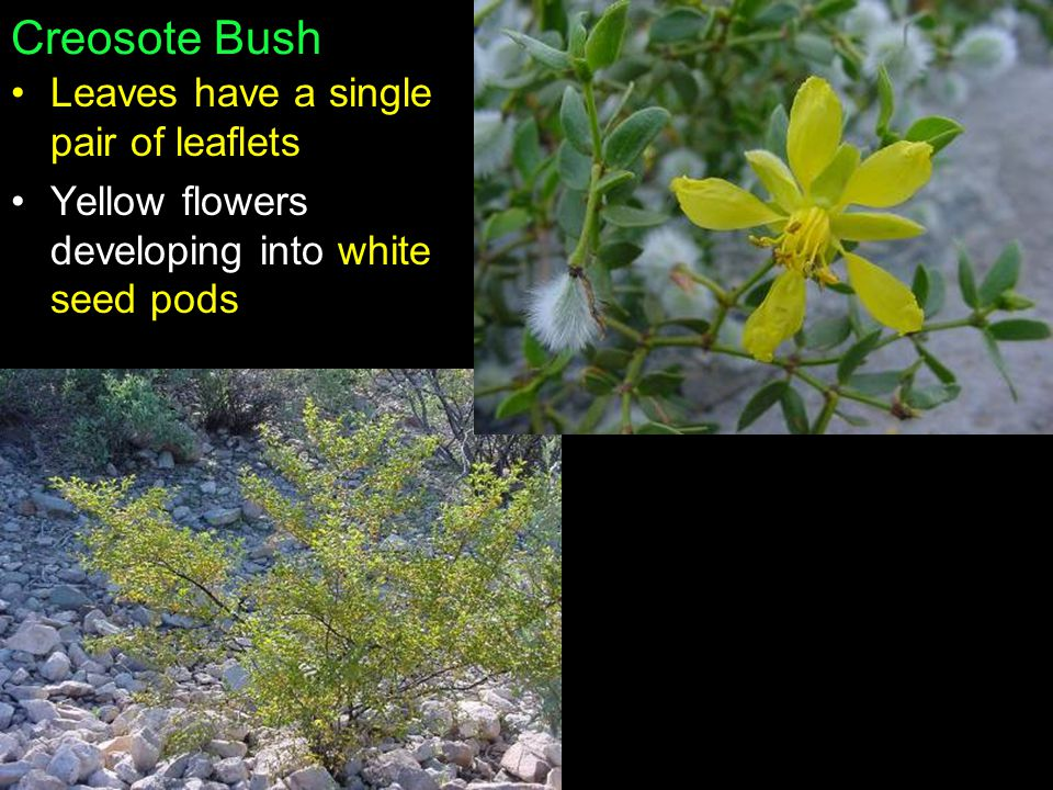 Creosote Bush Leaves have a single pair of leaflets
