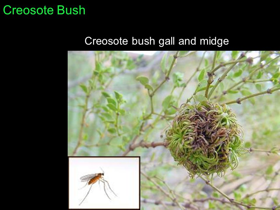 Creosote Bush Creosote bush gall and midge