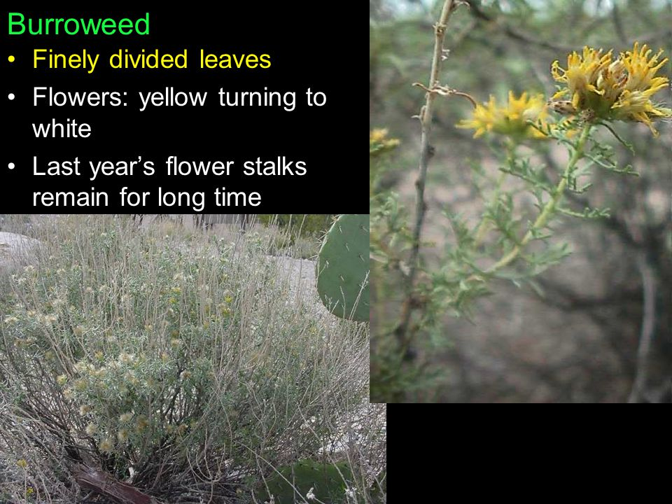 Burroweed Finely divided leaves Flowers: yellow turning to white