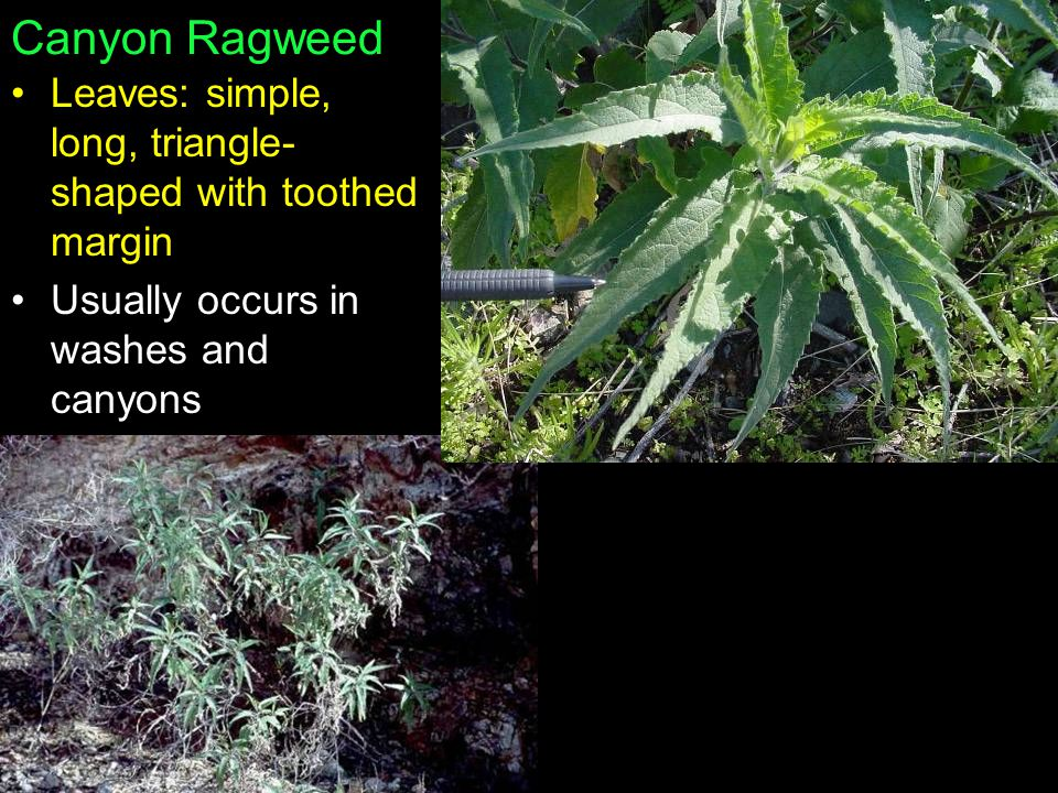 Canyon Ragweed Leaves: simple, long, triangle-shaped with toothed margin.