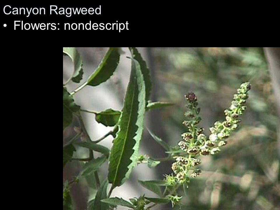 Canyon Ragweed Flowers: nondescript