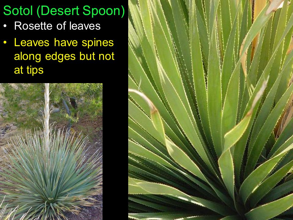 Sotol (Desert Spoon) Rosette of leaves