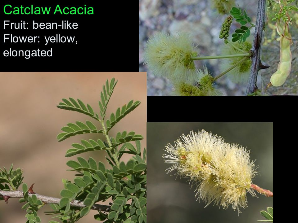 Catclaw Acacia Fruit: bean-like Flower: yellow, elongated